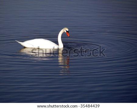 Swan in Dutch lake - stock photo