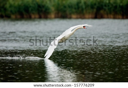 Swan in flight - stock photo