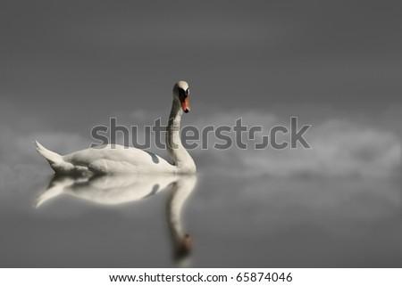 Swan in lake - stock photo