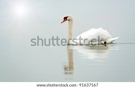 Swan in the foggy morning