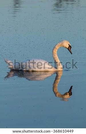 swan in the lake - stock photo