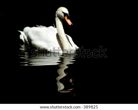 swan in the lake - stock photo