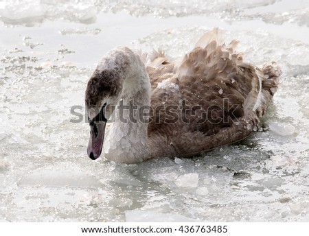 swan in the snow