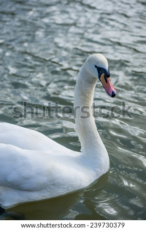 swan in the water - stock photo