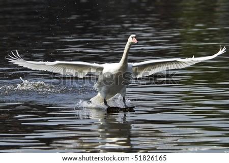 swan landing on water - stock photo