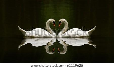 swan love reflection over a beautiful lake - stock photo