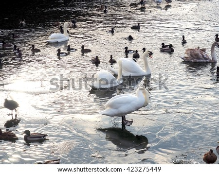 Swan, mallard duck (male and female) and bird standing in the sea (Baltic), Stockholm city Sweden - stock photo