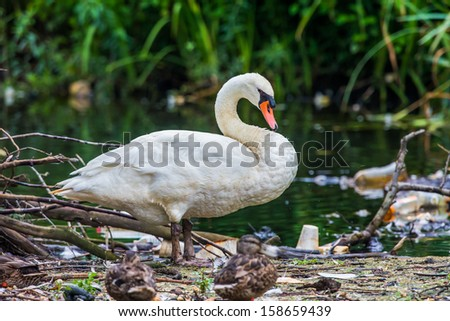 Swan near a pond with garbage - stock photo