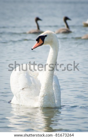swan on blue lake water in sunny day, swan on pond