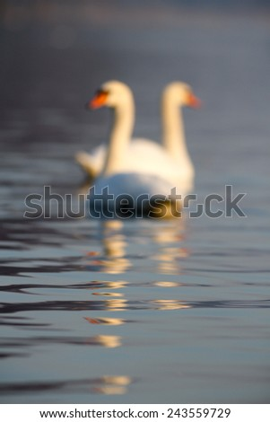 swan on blue lake water in sunny day, swans on pond, nature series - stock photo
