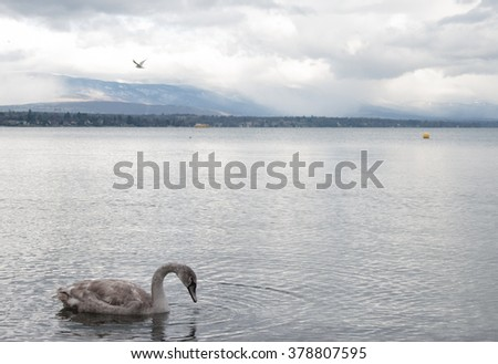 Swan on  Lac Leman. Geneva. Switzerland.