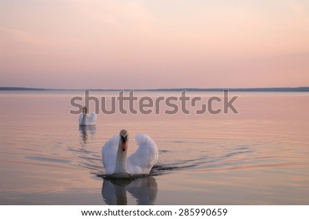 swan on lake water in sunny day, swans on pond, nature series - stock photo