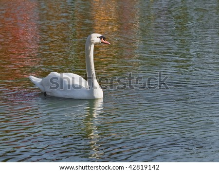 Swan on lake with reflections
