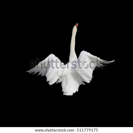 swan on the black background