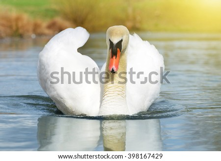 Swan on the lake - stock photo