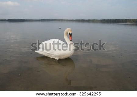 Swan on the lake and duck (Pisochne ozero, Ukraine). - stock photo