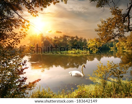 Swan on the pond in the evening - stock photo
