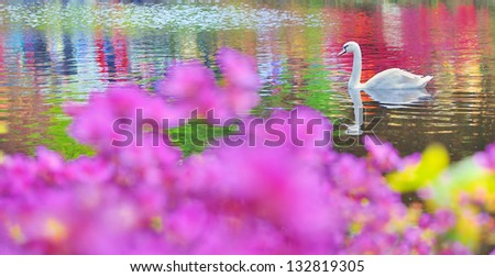 swan on water in mirror - stock photo