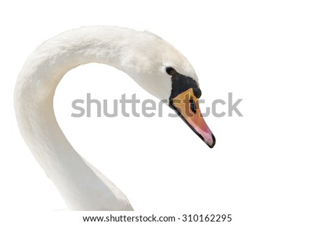 Swan portrait isolated on white. - stock photo