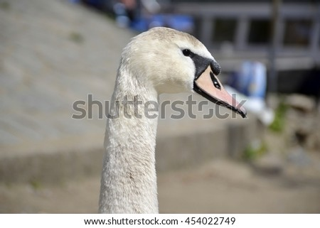 Swan portrait with background  - stock photo