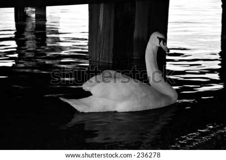 swan swimming - stock photo