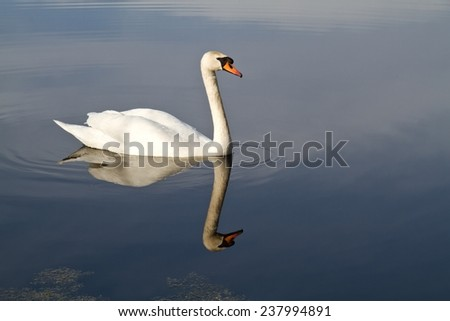 Swan Swimming  - stock photo