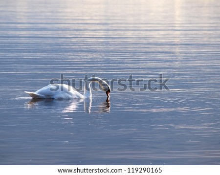 Swan, swimming gracefully around alone, at sunset