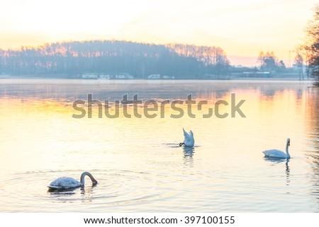 Swan swimming in lake in morning light. Beautiful big bird portrait - stock photo