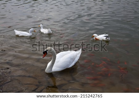Swan with chicks. Mute swan family. Beautiful young swans in lake - stock photo