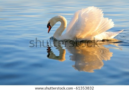 swan with golden reflection - stock photo