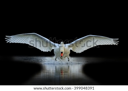 Swan with open wings, a unique moment, spring courtship - stock photo