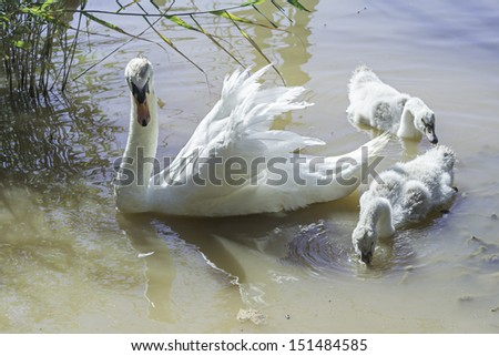 Swan with young cubs swimming in the lake, animals - stock photo