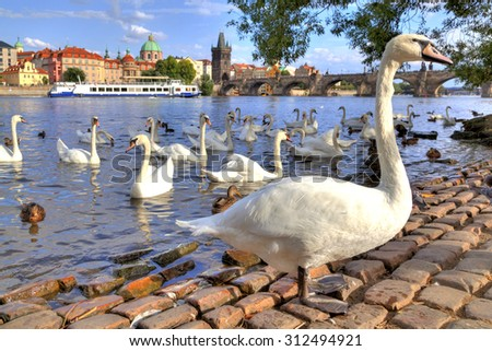 swans and ducks at the Moldau beach in Prague in the Czech Republic, in the back you can see the Charles Bridge and the old town of Prague  - stock photo