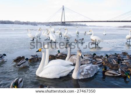 Swans and ducks in the river, winter, Hokkaido, north of Honshu, Japan,  northeast Asia - stock photo