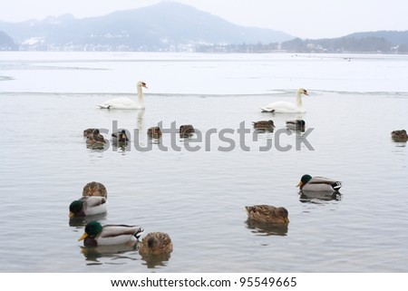 Swans and ducks lake with alp mountains in the background/swans and ducks - stock photo