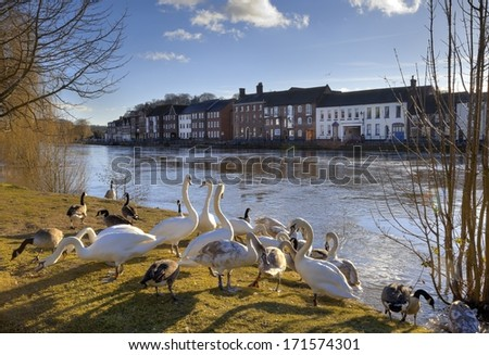 Swans and geese on the bank of the River Severn, Bewdley, Worcestershire, England. - stock photo
