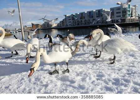 Swans and gulls feeding in the snow at Portishead Quays Marina - stock photo