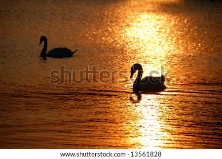 Swans at sunset in Kensington Gardens - stock photo