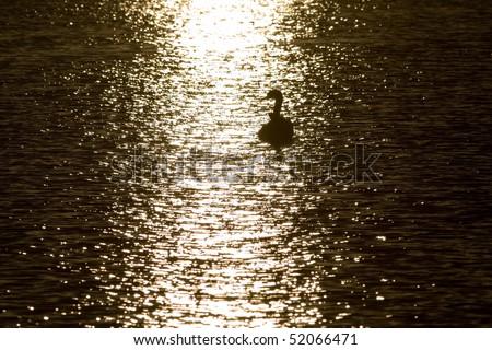 swans at sunset sun glitter - front - stock photo