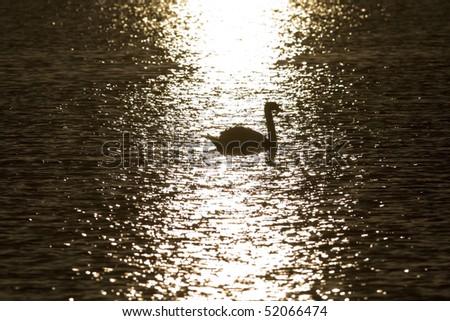 swans at sunset sun glitter - side - stock photo