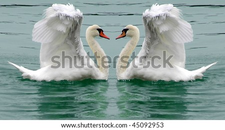 Swans beauty or courting display natures ballet - stock photo