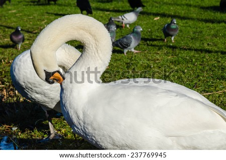 Swans cleaning their feathers - stock photo