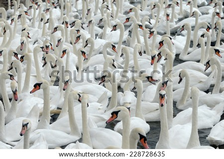 Swans feeding at Abbotsbury Swannery in Dorset - stock photo
