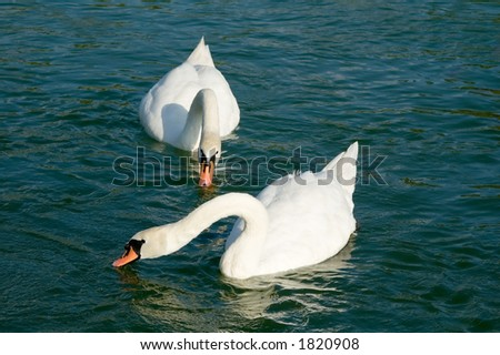 Swans floating in lake - stock photo
