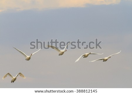 Swans flock of flying on a background of gray sky, the autumn migration of birds - stock photo