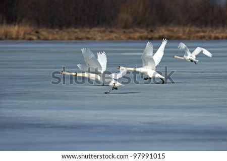 Swans fly over the lake - stock photo