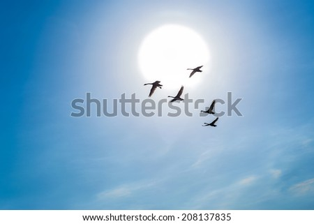Swans flying in a blue sky - stock photo