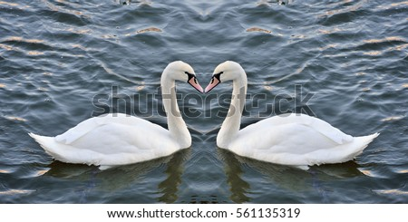 Swans forming a heart in the mirror