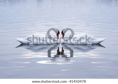 Swans Heart in the Calm Morning Lake - stock photo