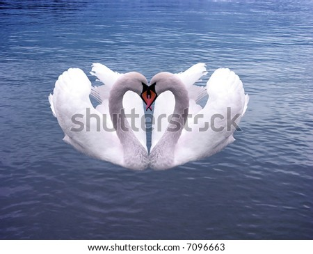 Swans Hearts  on the sea of love forever - stock photo